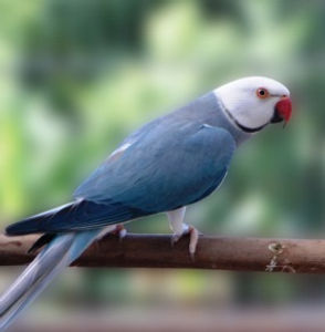 Ring Neck Cleartail Azul.jpg