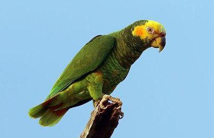 papagaio galego