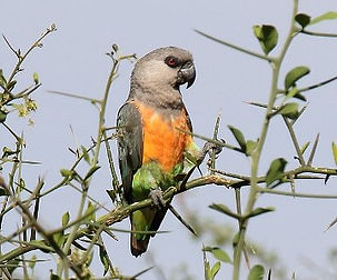 Papagaio de Barriga Vermelha.jpg
