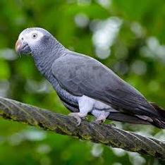 Papagaio Timneh