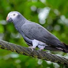 Papagaio Timneh.jpg