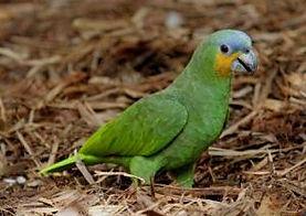 Papagaio do Mangue.jpg