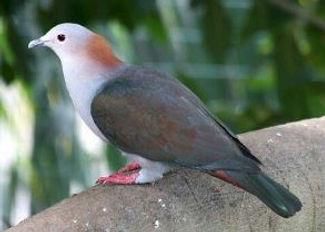 Pombo Imperil Verde - Aves & Cia