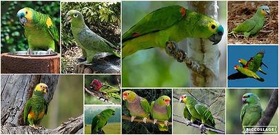 Collage Papagaios Silvestres.jpg