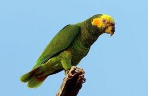 Papagaio Galego.JPG