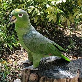 Papagaio Moleiro.jpg