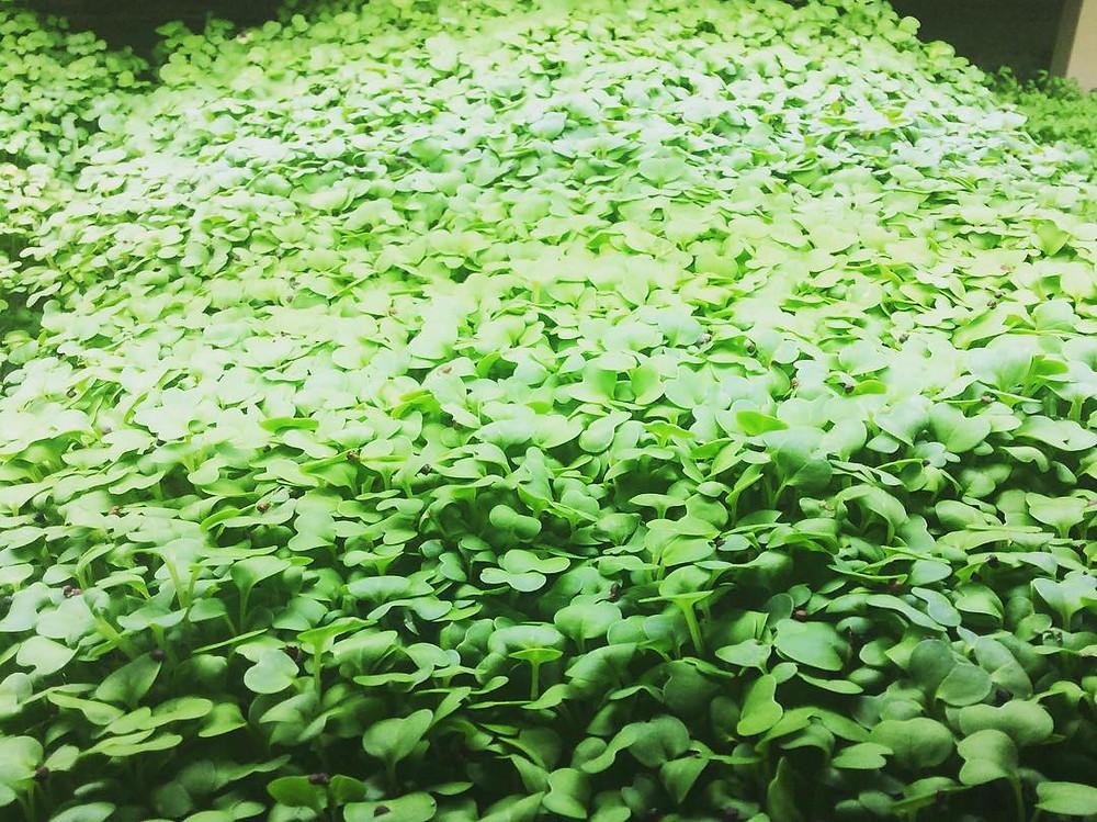 Happy Hills Farm microgreens