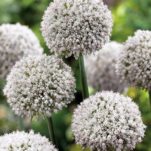 Allium Ping Pong Bulbs (De Ree)
