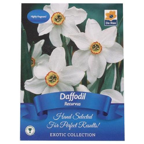Daffodil Recurvus (De Ree)