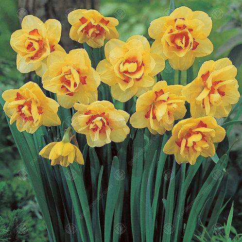 Daffodil Tahiti (De Ree)