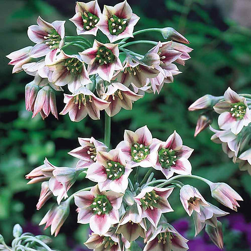 Allium Bulgaricum Bulbs (De Ree)