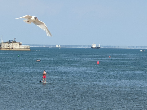 Seagull over the solent