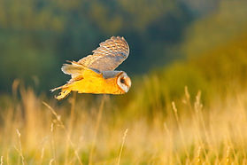 Barn  owl.jpeg