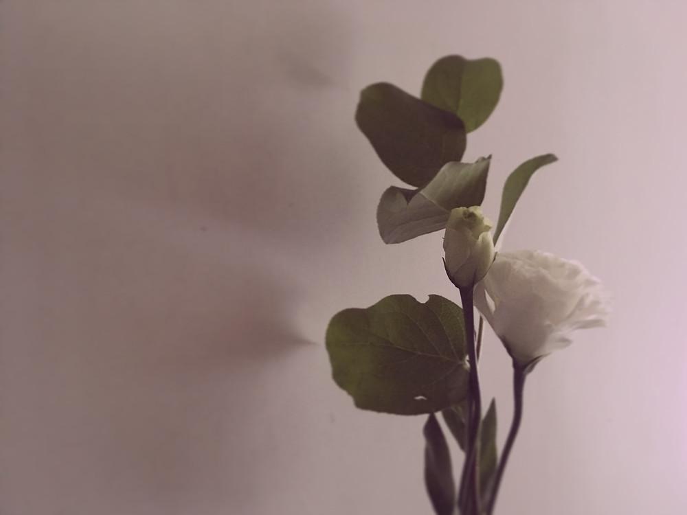 14.2.2017 白玫瑰