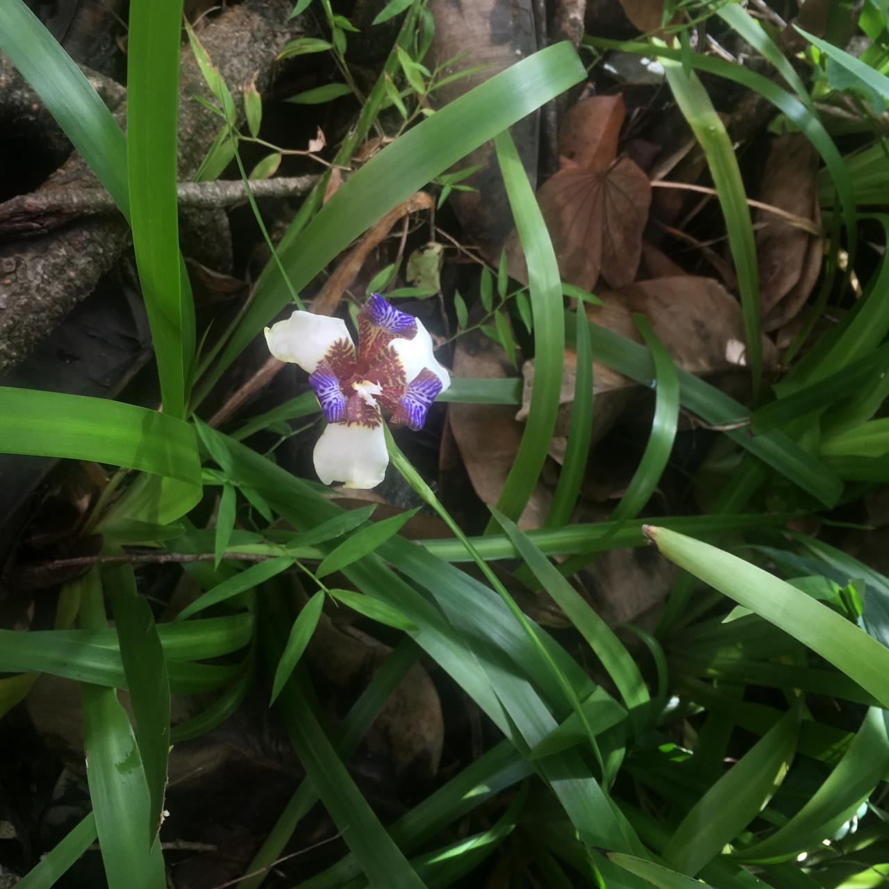 早上盛開的蝴蝶花