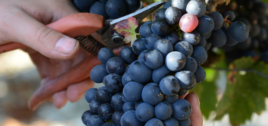 Cerdon-vendanges-Buffard-JF2_0782.JPG