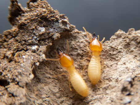 What are the chances of a termite attack (especially if the neighbour has termites)?
