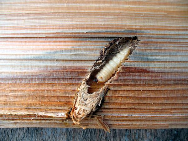 Wood borer near exit hole