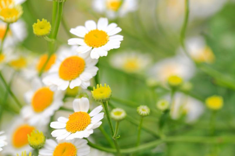Pyrethrum daisy image