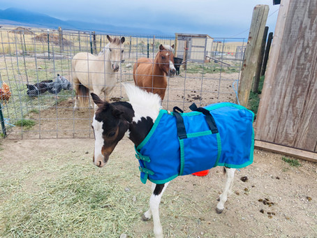 How I Prepare a Weanling for Winter