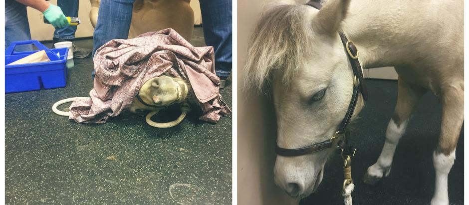 Zorro's Surgery!