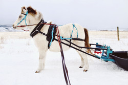 Zorro's First Time Pulling a Sled