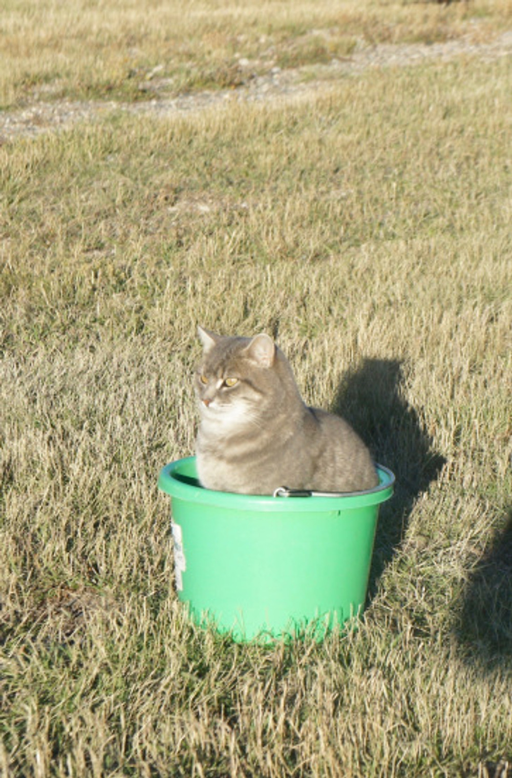 One of my helpers... the kitty in the feed bucket!