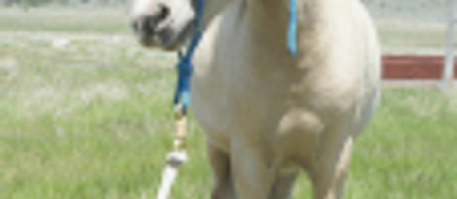 Miniature Horse Halters