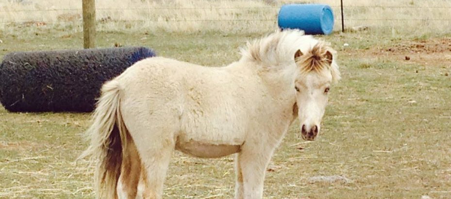 How to Prepare a Young Foal to be a Future Driving Horse