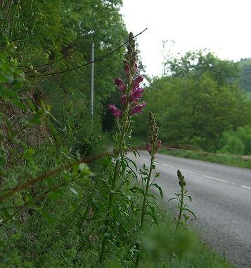 Antirrhinum majus spp seudomajus on a roadside