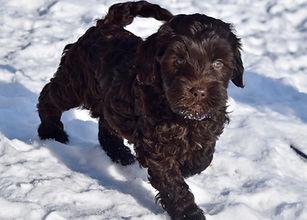 australian labradoodle doodle puppy utah breeder