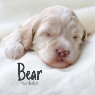 Paisley/Cooper Bear