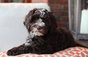 australian labradoodle doodle utah breeder puppy therapy