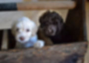Chocolate and Cream Australian Labradoodle Puppies