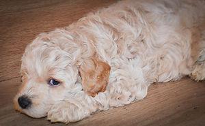 australian labradoodle doodle puppy
