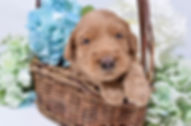 australian labradoodle doodle utah breeder puppy therapy