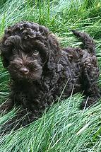 australian labradoodle puppy doodle