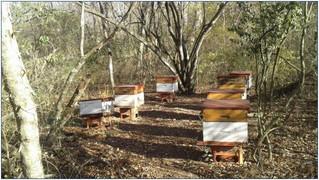 Grupo Mieles de San Pedro: experiencias de apicultores de Jujuy con genética seleccionada