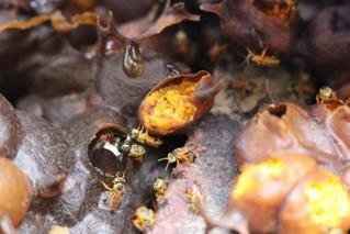 Miel de abejas nativas sin aguijón (ANSA)