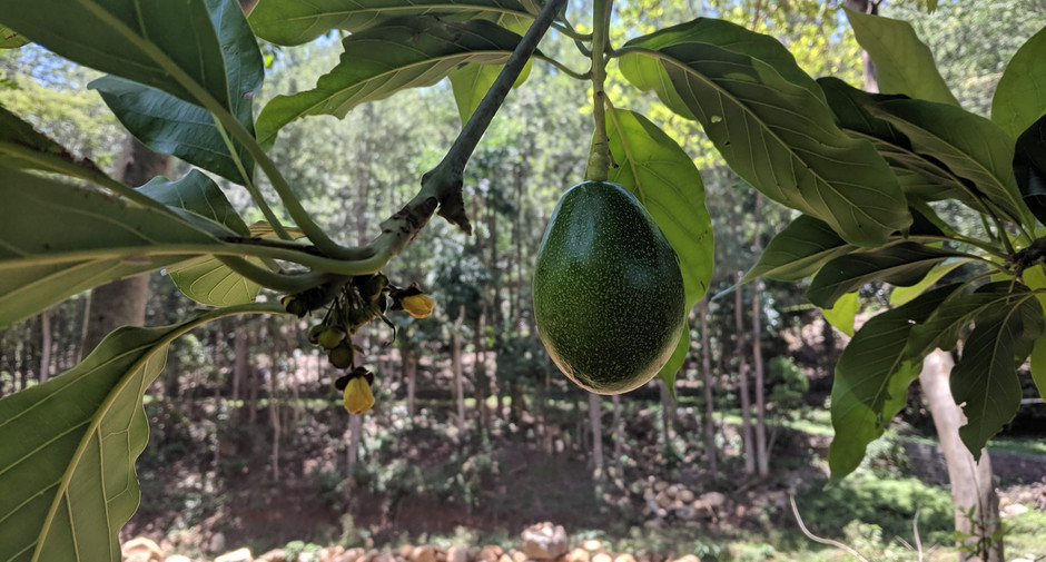 The Lone Avocado