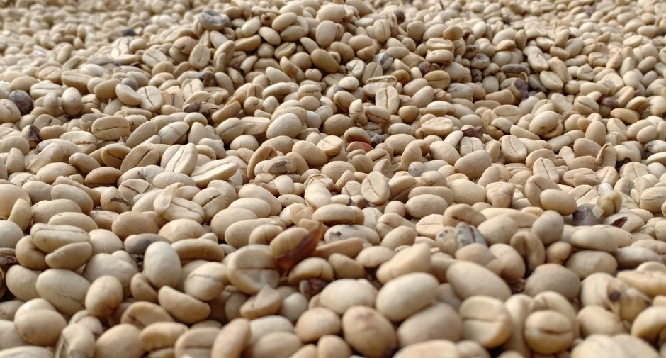Coffee beans on drying bed