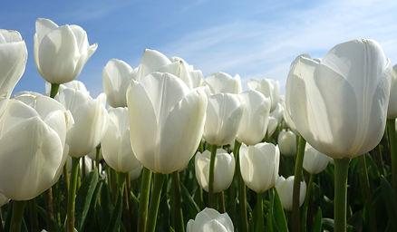 tulips-2580121_1920.jpg