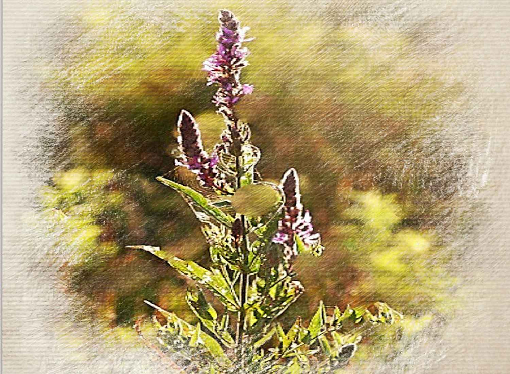 Vervain, Bach Flower Therapy
