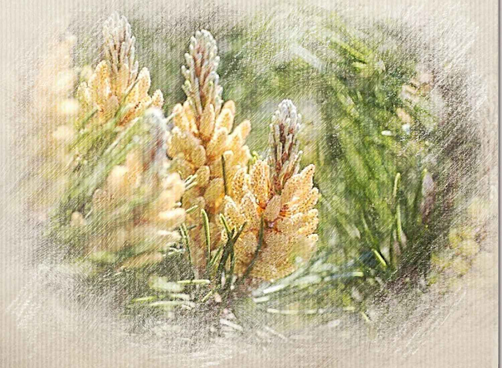 Pine, Guilt-ridden, bach Flower Remedy