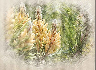 Pine-outer.jpg