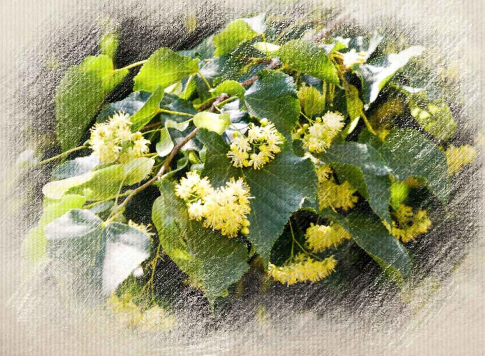 Beech, Bach Flower Remedy