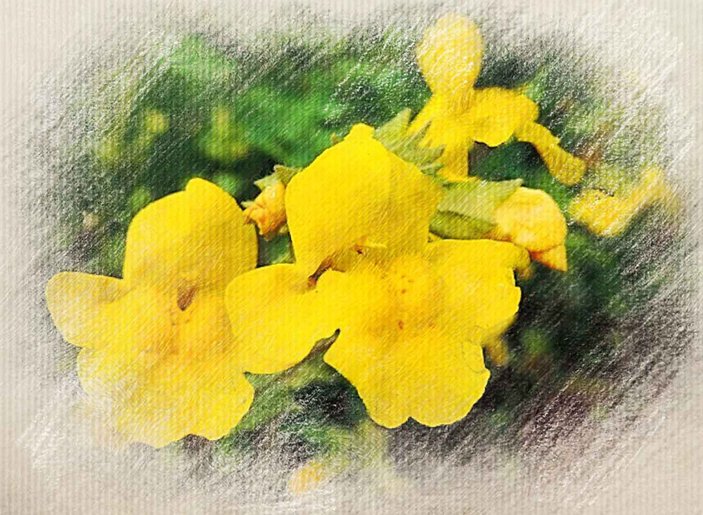 Mimulus, Bach Flower Remedy, Fear of known things