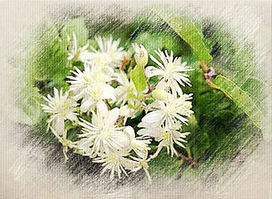Clematis-outer.jpg