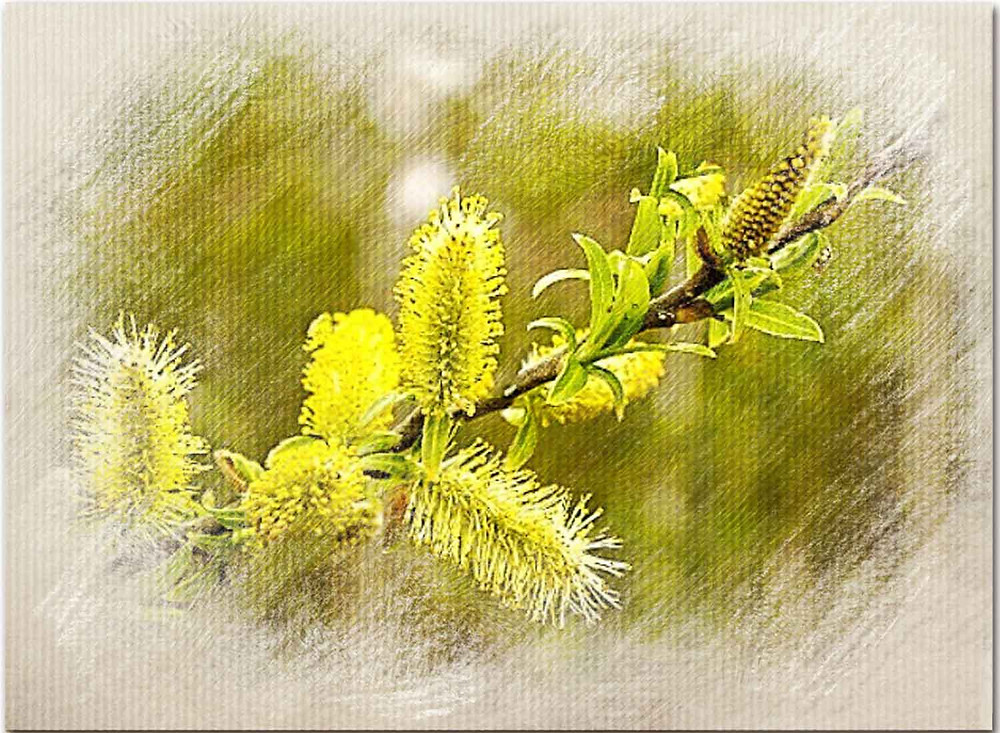Willow, Bach Flower Therapy for Self-pity, bitterness, resentment