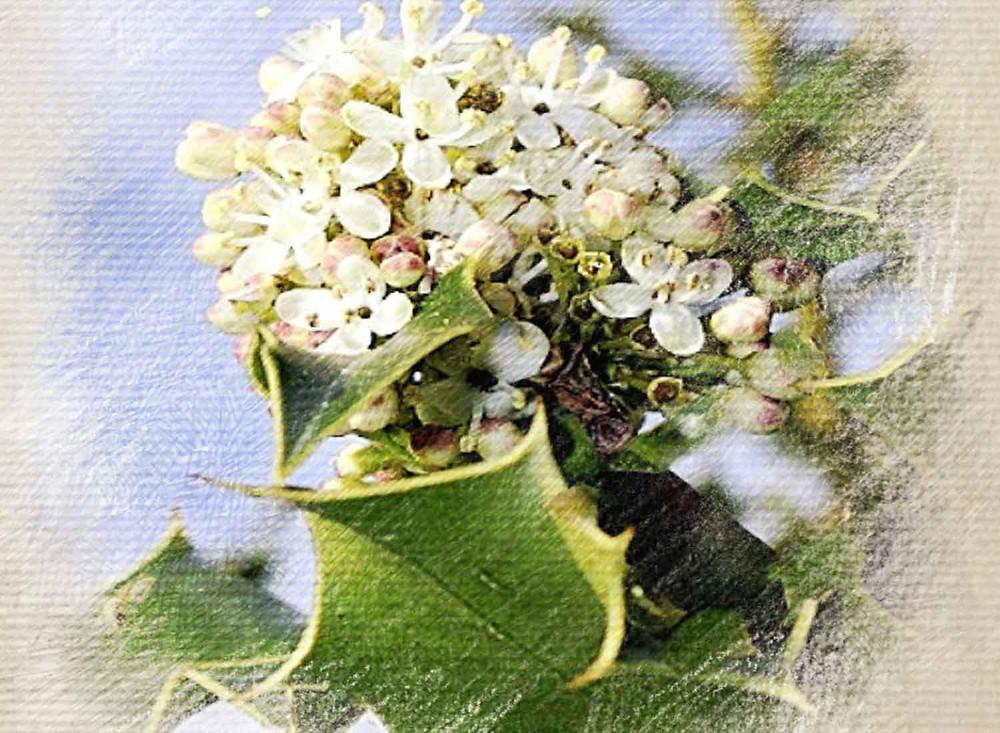 Holly, Bach flower remedy, Jealousy, envy, insecure, rage, hyper-sentitive